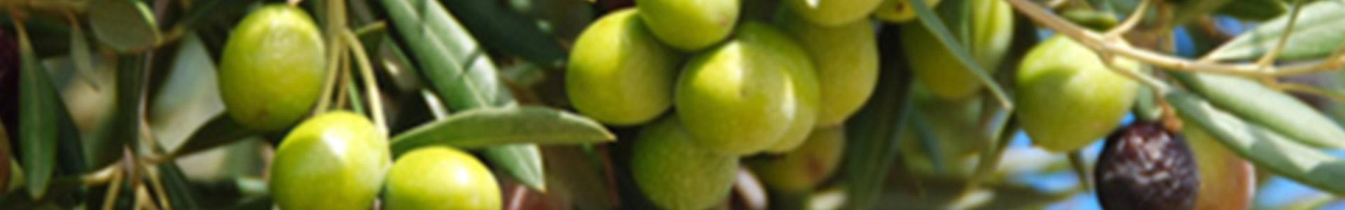 Pflegeprodukte mit Olvienöl | Seifen, Peeling uvm.