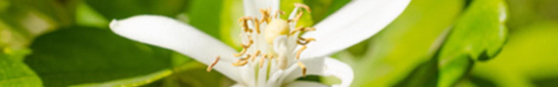 Orangenblüte - Kosmetik und Parfüms mit Neroli-Duft